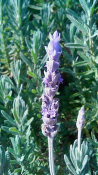Lavender0320.jpg