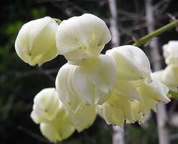 ユッカランの花